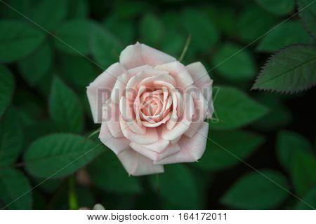 Pink roses on green leaf, roses flower