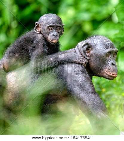 Close up Portrait of Bonobo Cub on the mother's back in natural habitat. Green natural background. The Bonobo ( Pan paniscus) called the pygmy chimpanzee. Democratic Republic of Congo. Africa