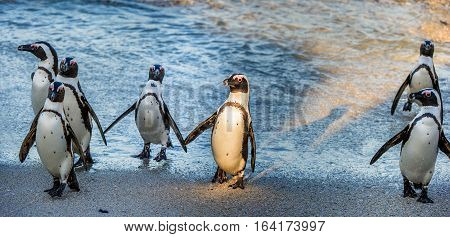 African penguins ( Spheniscus demersus). African penguins walk out of the ocean on the sandy beach. African penguin ( Spheniscus demersus) also known as the jackass penguin and black-footed penguin.