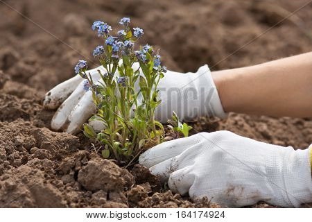hands in gloves planting forget-me-not in the garden