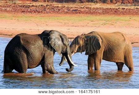 Two elephants playing in Lake Kariba, Bumi National Park, Zimbabwe, sOUTHERN africa
