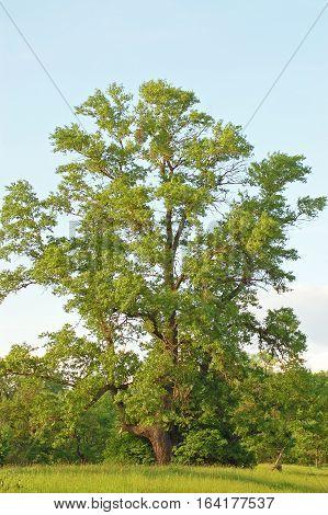 Spring Poplar Tree