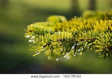 Fir branches and needles close up photo