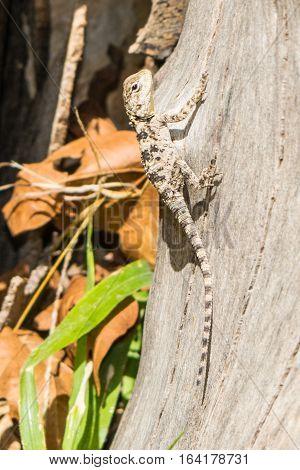Small sweet tropical lizard on a wood