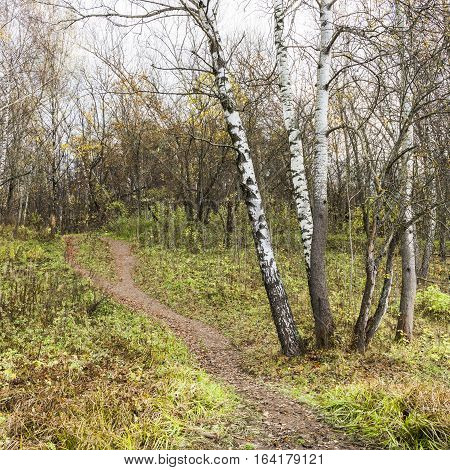 The path climbs on a deserted hill in autumn birch forest.