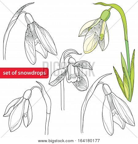 Vector set of outline Snowdrop flower or Galanthus isolated on white background. Floral elements in contour style for coloring book and spring design. Plant is the one of spring symbols.