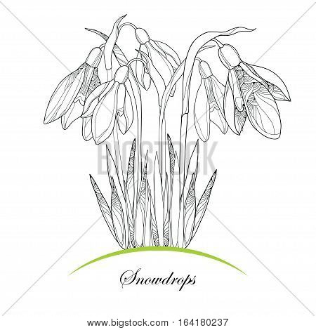 Vector bouquet with ornate outline Snowdrop flowers or Galanthus isolated on white background. Elements in contour style for coloring book and spring design. Floral spring symbol.