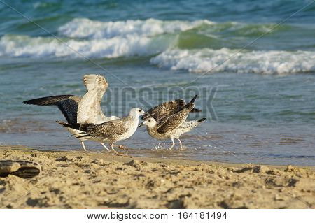 Young gulls (lat. Larus argentatus) on sandy coast