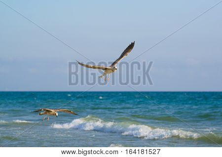 Young gulls (lat. Larus argentatus) flying over the sea