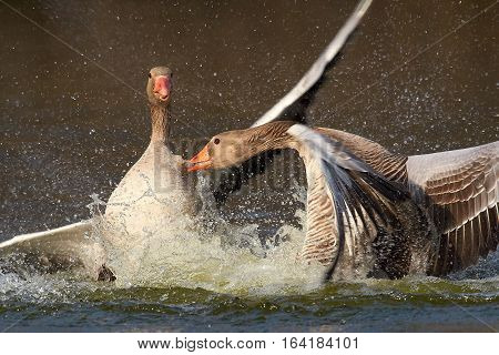 Greylag Geese fighting in the water with drops flying in the air