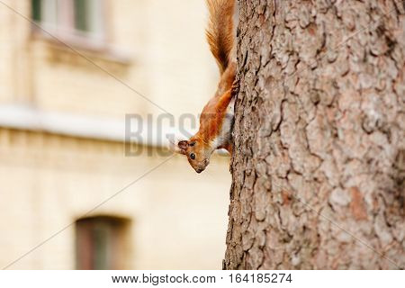 squirrel on pine tree. Funny squirrel on tree
