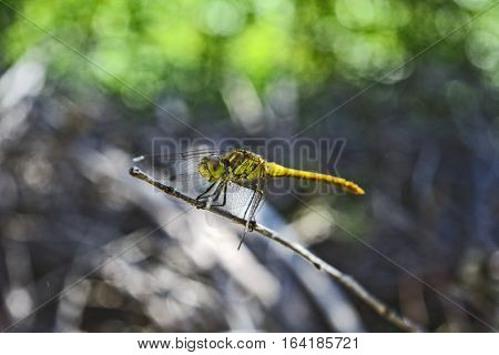 Yellow Dragonfly standing on the border of the garden.