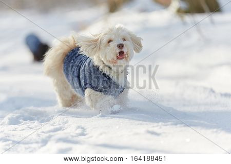 Havanese Dog Running And Playing In The Snow