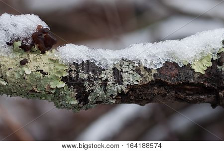 Dark Branch Covered with Icy and Green Lichen
