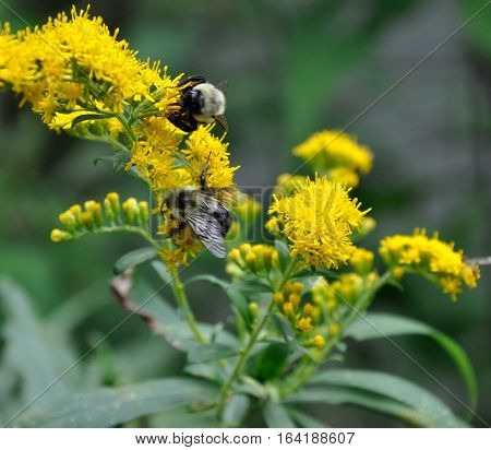 2 Bees Pollinating Yellow Flowers  - Close Up view