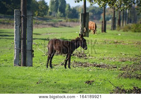 Black donkey on a leash in the countryside area