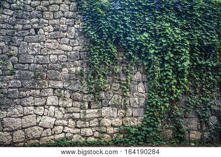 Ivy Climbing The Old Wall