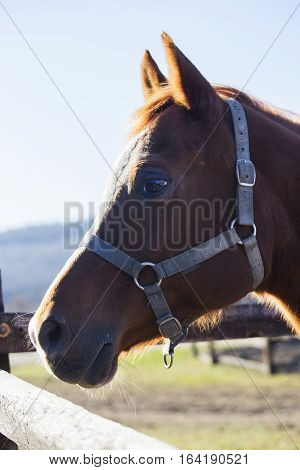 Purebred warm blood mare looking over fence