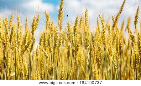 Closeup View Of Wheat Ear