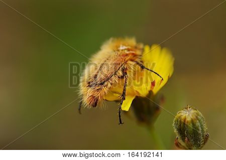 Hairy beetle on flower close up photo