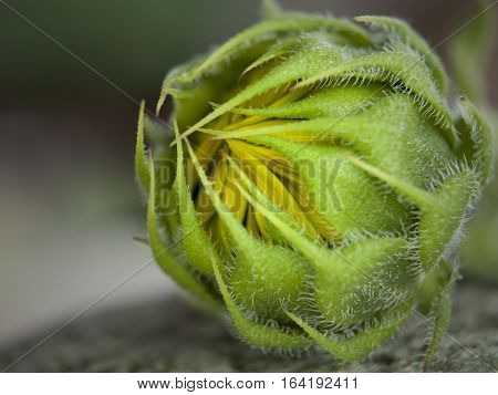 Macro photograph of a sunflower bud about to bloom