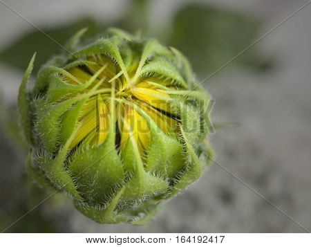 Macro photograph of a sunflower bud about to bloom.