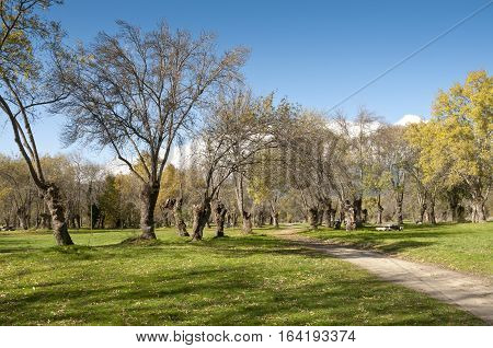 Ash tree grove in Soto del Real, Madrid, Spain