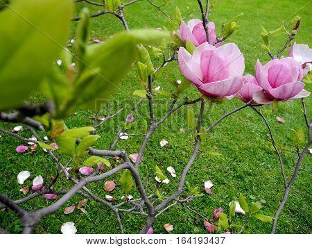 the magnolias in the Botanical garden of Taras Shevchenko National University of Kyiv