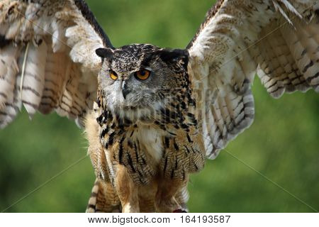 Eaagle Owl flapping its wings while remaining on its perch