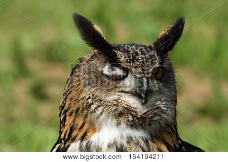 Eagle Owl sitting on a perch winking