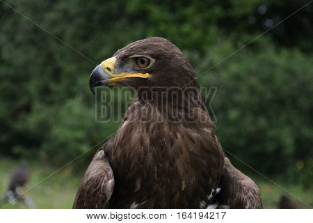 Russian Steppe Eagle sitting on a perch