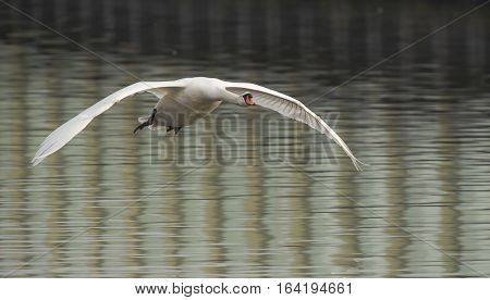 Mute Swan (Cygnus olor) in flight above a Town Canal