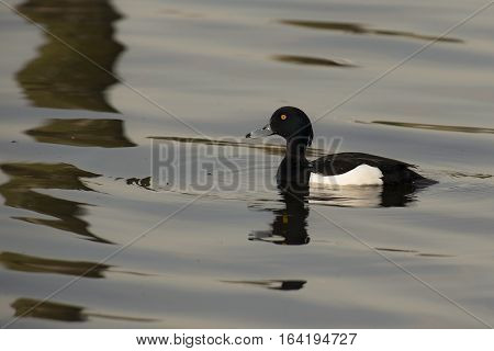 Tufted Duck (Aythya fuligula) male swimming in water of a Lake