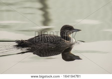 Great Northern Loon (Gavia immer) juvenile in winter plumage swimming in water