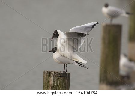Black-headed Gull (Chroicocephalus ridibundus) couple mating on a Wooden Pole in a Lake