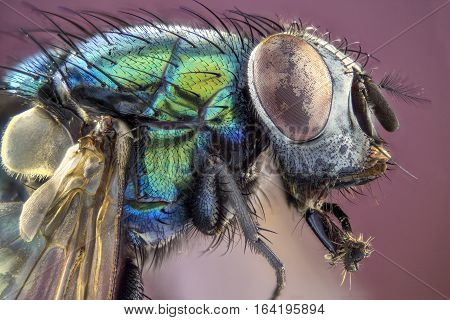 Extreme larger head green housefly side view