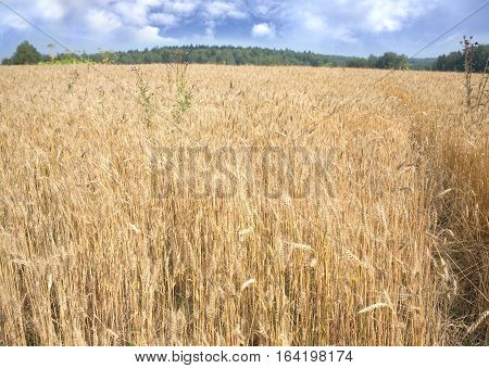 Landscape with lot ears of rye on rural field under blue sky with white clouds on summer day closeup