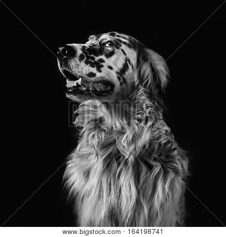 dog english setter black white square format