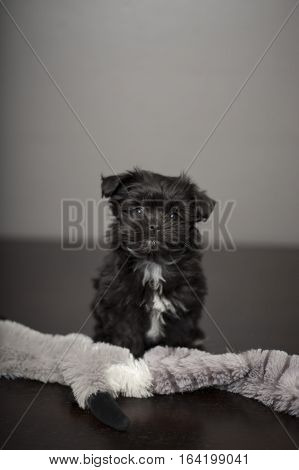 A cute, fluffy, black and white puppy is sitting with his dog toy, (a grey fluffy racoon), and looking straight toward camera. The background is grey and the floor is a dark brown. The dog is a mix breed of Maltese, Shih Tzu and Yorkshire Terrier.