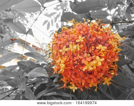 Colorful orange and yellow blooms of Asoka tree. Picture in colorful on black and white style.