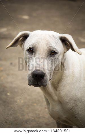 white dog close up (thai dog) on the road