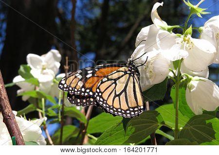 Monarch butterfly resting on a Mock Orange Blossom Flower
