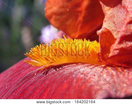 Iris stamen and petals close up burgundy red flower