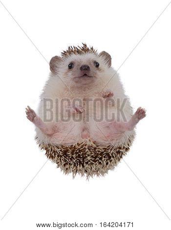 Small hedgehog upturned it self on white background.