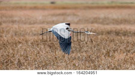 Great Blue Heron (Ardea Herodias) Flying Over Wetlands. Alviso Marina County Park, Santa Clara County, California, USA.