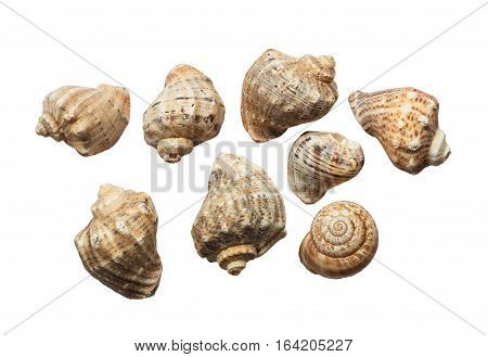 Set of old cockleshells scratched sea wave isolated on white background.