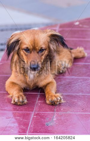 thai stray dog homeless , pet animal