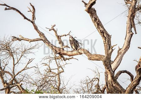 White-headed Vulture On A Branch.
