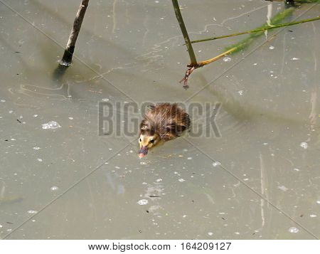 Learning to swim. Baby duck duckling bird animal taking to the waters in a river pond.