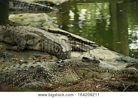 Sun bathing crocs in Cibarusah Crocodilepark. The crocs waiting for Sun's heat in cloudy weather. They very calm waiting